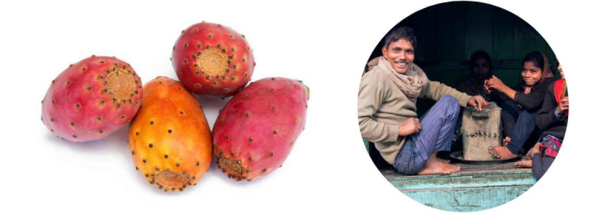 OPUNTIA: The cactus that changed everything we knew about weight loss and saved Tunisians from poverty
